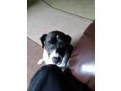 Adopt Lola a Black - with White American Pit Bull Terrier dog in Gaylord