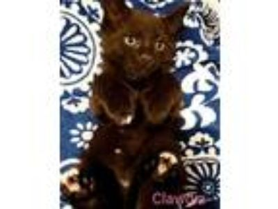 Adopt Clawdia kitten a Extra-Toes Cat / Hemingway Polydactyl