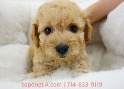 Maltipoo Puppy - Male - Rhino ($1,299)