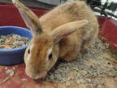 Adopt PUMPKIN a Fawn Other/Unknown / Mixed rabbit in Van Nuys, CA (25292726)