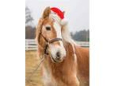 Adopt ROSE a Palomino Haflinger / Mixed horse in Methuen, MA (23907596)