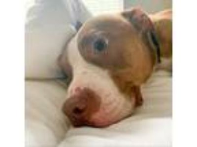 Adopt Denny a American Staffordshire Terrier / Mixed dog in Austin