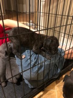 Cane Corso PUPPY FOR SALE ADN-96680 - 9 week old female cane corso