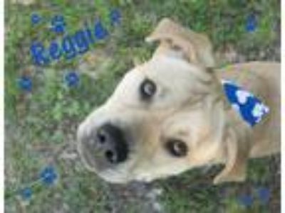 Adopt Reggie a Tan/Yellow/Fawn Labrador Retriever / Mixed dog in Seagoville