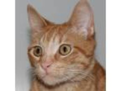 Adopt Tangus a Domestic Shorthair / Mixed cat in Des Moines, IA (25372611)