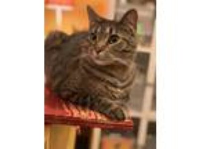 Adopt Ruskin a Tabby, Domestic Short Hair
