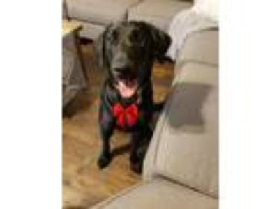 Adopt Skye a Black Labrador Retriever