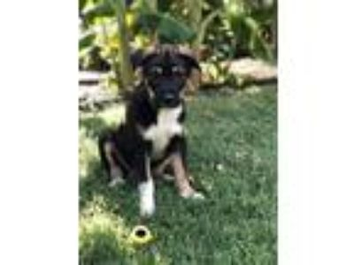 Adopt Riley a Black - with Brown, Red, Golden, Orange or Chestnut Catahoula
