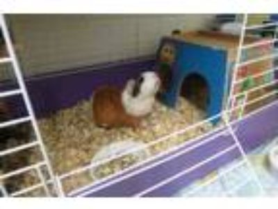 Adopt carly (cocoa center) a White Guinea Pig / Guinea Pig / Mixed small animal