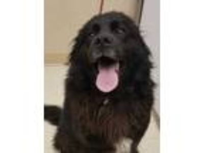 Adopt Spartan a Black Retriever (Unknown Type) / English Setter / Mixed dog in
