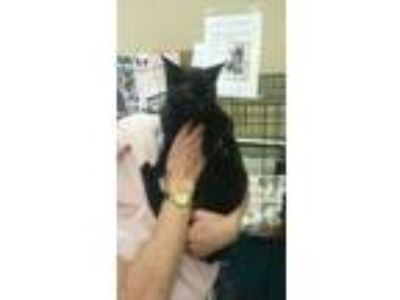 Adopt Marta a Domestic Short Hair