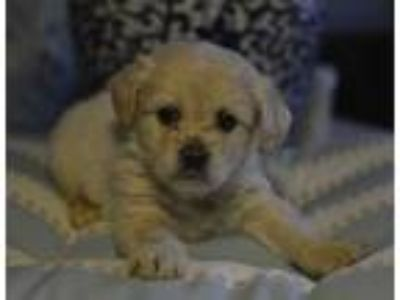 Adopt Hermione a Tan/Yellow/Fawn - with White Poodle (Miniature) / Sheltie