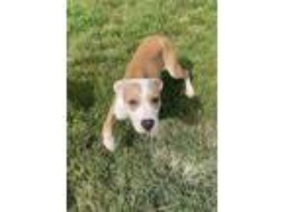 Adopt Marigold a American Staffordshire Terrier, Boxer