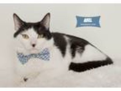 Adopt Abel a Black & White or Tuxedo Domestic Shorthair (short coat) cat in