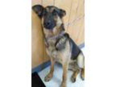 Adopt Chicken a Black German Shepherd Dog / Mixed dog in Madera, CA (25827215)