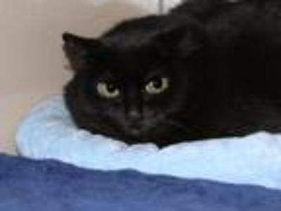 Adopt Fancy Pants a Domestic Shorthair / Mixed cat in Virginia Beach
