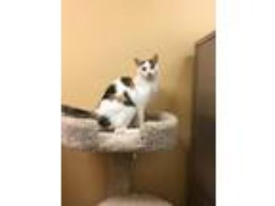 Adopt Macy a Calico or Dilute Calico Domestic Shorthair (short coat) cat in