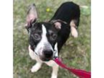 Adopt Ophelia a Black - with White American Pit Bull Terrier / Mixed dog in