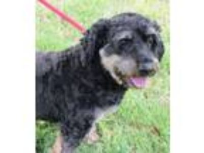 Adopt Daisy a Terrier, Poodle