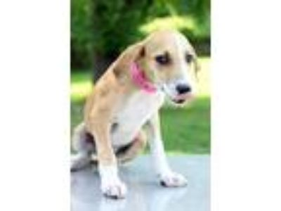 Adopt Jamie a Tan/Yellow/Fawn - with White Hound (Unknown Type) / Mixed dog in