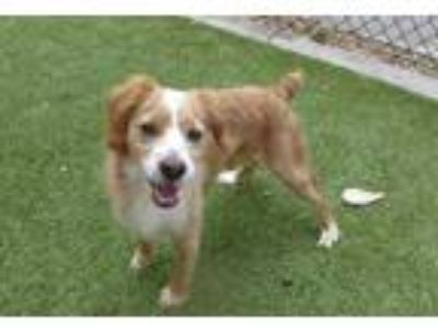 Adopt TANNER a Tan/Yellow/Fawn - with White Cavalier King Charles Spaniel /