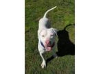 Adopt Liam a White Staffordshire Bull Terrier / Mixed dog in Orange