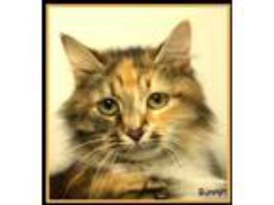 Adopt Bunny a Orange or Red Domestic Longhair / Domestic Shorthair / Mixed cat