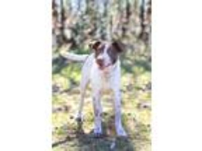 Adopt Nosey a White - with Brown or Chocolate German Shorthaired Pointer / Mixed