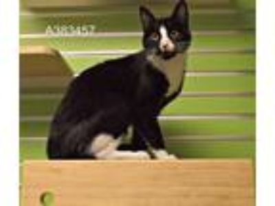 Adopt ABIGAIL a Black & White or Tuxedo Domestic Shorthair / Mixed (short coat)