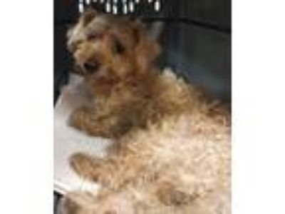 Adopt Barkley a Yorkshire Terrier