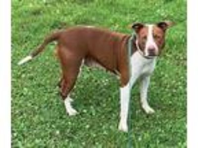 Adopt LucyP a Staffordshire Bull Terrier / Mixed dog in St. James, MN (25891878)