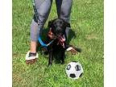 Adopt Lindy a Black Labrador Retriever