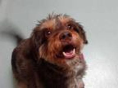 Adopt ROSIE a Brown/Chocolate - with Tan Terrier (Unknown Type