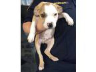 Adopt Colby a White - with Tan, Yellow or Fawn American Pit Bull Terrier dog in