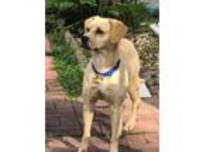 Adopt GINGER a Gray/Blue/Silver/Salt & Pepper Labrador Retriever / Mixed dog in