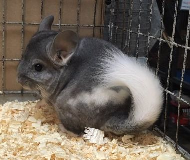 2-3 Month Old Extreme Mosaic Male Chinchilla