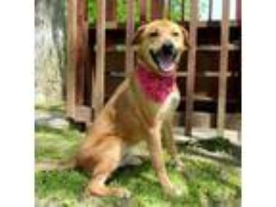 Adopt Oliver a Brown/Chocolate Shepherd (Unknown Type) / Mixed dog in Tyler