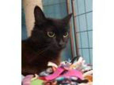Adopt Elvira a All Black Domestic Mediumhair / Domestic Shorthair / Mixed cat in