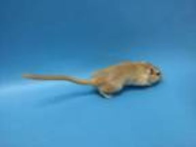 Adopt Honey a Gerbil