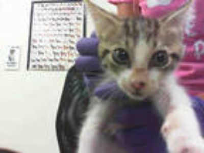 Adopt BAXTER a Brown Tabby Domestic Shorthair / Mixed (short coat) cat in Doral