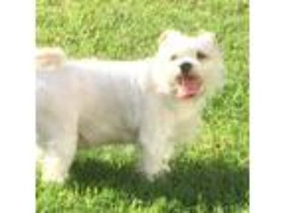Adopt LACEY (SRC#2003) in NC a Miniature Schnauzer / Shih Tzu / Mixed dog in
