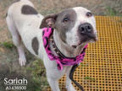 Adopt SARIAH a White - with Gray or Silver American Pit Bull Terrier / Mixed dog