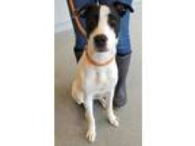 Adopt Rascall a White - with Black Hound (Unknown Type) / Mixed dog in