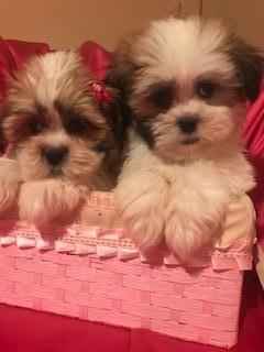 Gorgoues Malshi Nonshed Puppies 9wks