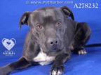 Adopt COOPER a Black American Pit Bull Terrier / Mixed dog in STOCKTON
