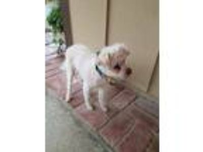 Adopt DOLLY a White Poodle (Miniature) / Mixed dog in Corona, CA (23551223)