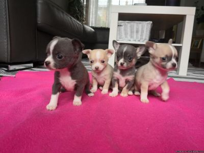 Stunning Pedigree Chihuahua Pups