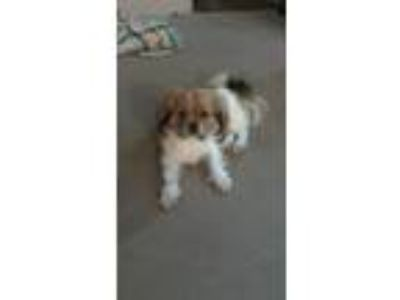 Adopt Oliver a Black - with Tan, Yellow or Fawn Lhasa Apso dog in Greeleyville