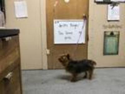Adopt Angel a Yorkshire Terrier