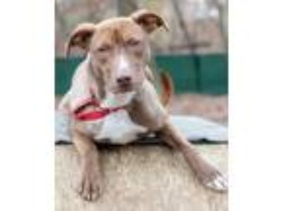 Adopt Mindy a Terrier, Labrador Retriever